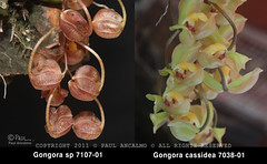 Gongora cassidea 'Copper'