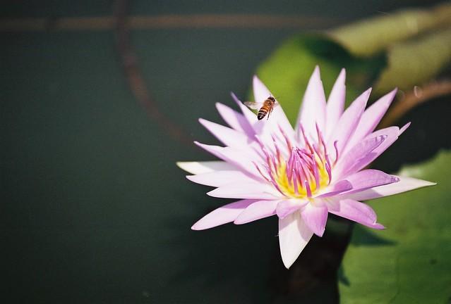 用底片抓蜜蜂和豆娘 真的很傷本......