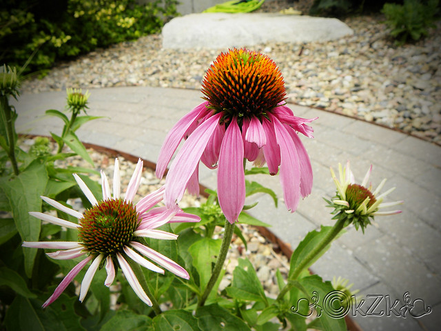 DSCN3691 Purple Coneflower/Echinacea