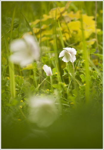 20120606. Wild anemones in wind. 0409. 1. by Tiina Gill