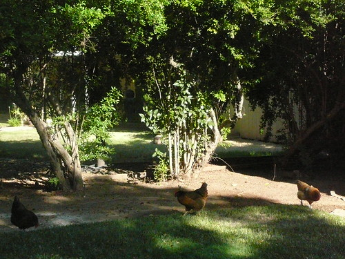 Chickens in my front yard