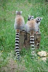animal, mammal, fauna, lemur, cat, wildlife,