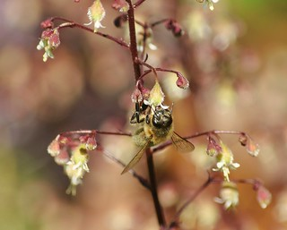 Bee on Heuchera Flower
