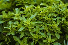 shrub, leaf, plant, marjoram, subshrub, herb, groundcover,