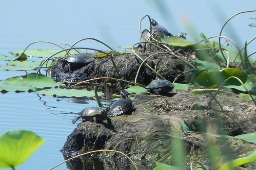 5 Painted Turtles