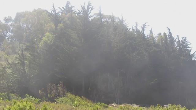 MVI_7016 monterey pines mist 16s