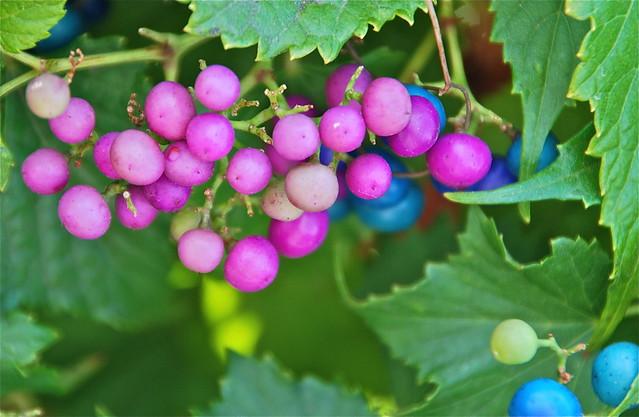 Ampelopsis brevipedunculata 'Porcelain Berry'