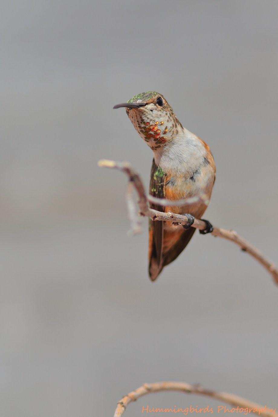 Allen's Hummingbird 071012