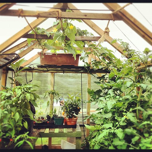 Inside the greenhouse - toms, chillies, aubergines, lemon, mini orange, peppers, basil and cucumber at the top!