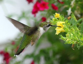 Female Ruby-throated Hummingbird - Randolph County North Carolina - Town of Glenola