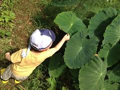 【とらちゃん】大きな葉っぱ! (2012/7/15)