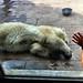 Small photo of Hudson the Polar Bear Cub