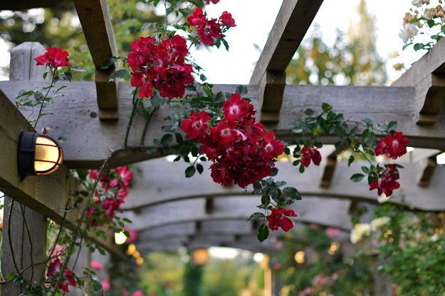 Crow-and-Gate-roses