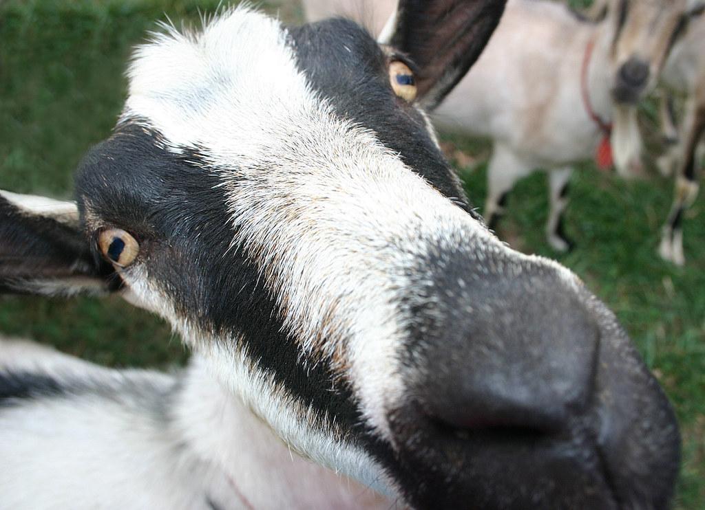 Celebrity Dairy goat