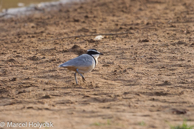 Plovers and crocodiles - photo#16