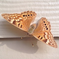 Beautiful Golden Monarch Butterfly hanong out with us on the patio - sooo neat!!