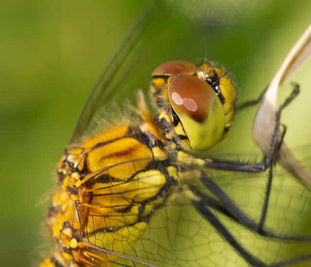 ruddy darter close up 2