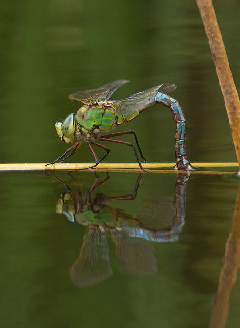 Emperor dragonfly egg laying portrait