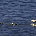 Common Eiders (Derek Mills)