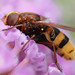 Large hoverfly Volucella zonaria on buddlia #2