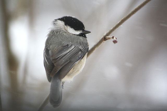 chickadee_snow
