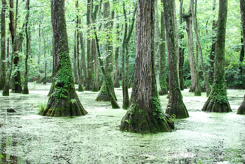 Tupelo Bald Cypress Swamp Mississippi (3)