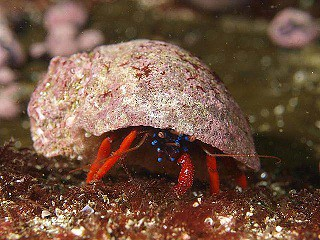 Hermit crab - Diving in Peru with Nature Expeditions