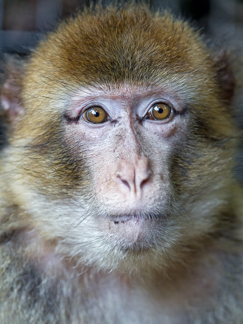 Calm and pensive macaque