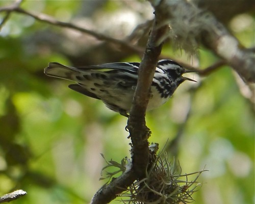 Black-and-white Warbler - 2