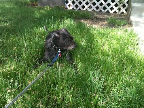 Yoda lawn likes