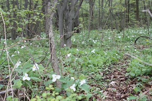 Trilliums in Oshawa, Ontario