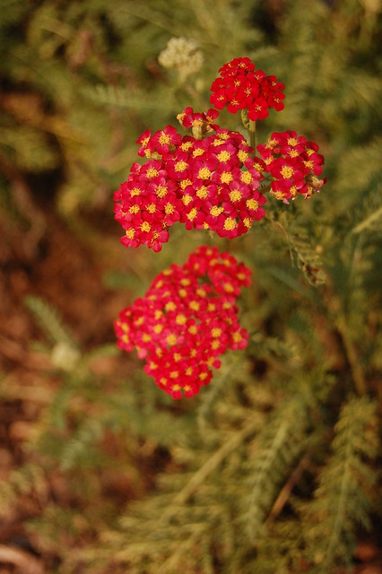 Achillea millefolium  Paprika  flower inflorescencePaprika Flower
