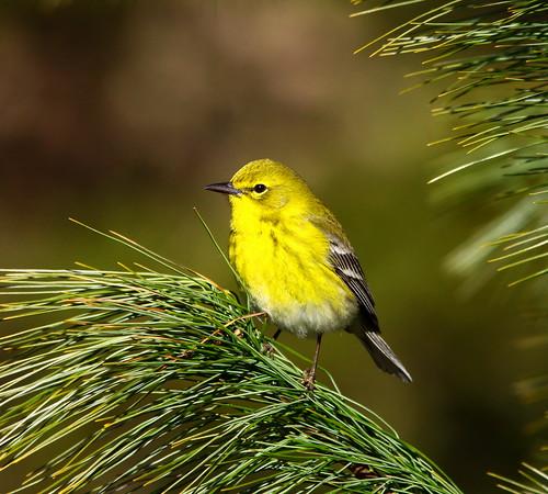 Pine Warbler by mghornak