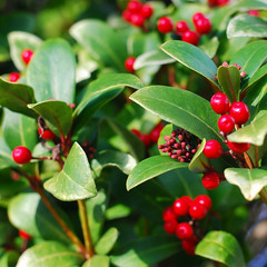leaf, arctostaphylos uva-ursi, produce, fruit, food, lingonberry,
