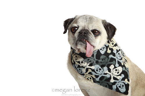 Tough Pug by Megan Lorenz