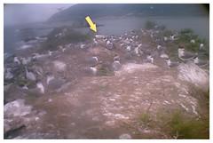 1010529(16點30分)黑嘴端鳳頭燕鷗影像
