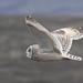 Short Eared Owl.  Other Images Below. by Sandra Standbridge.