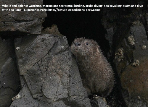 Marine otter Peru 7