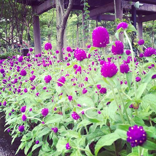 圓仔花 #flower