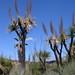 Yucas - Yuccas; al sur de Zapotitlán Palmas, Región Mixteca, Oaxaca, Mexico por Lon&Queta