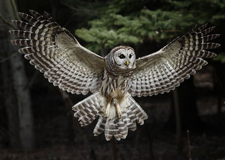 barred-owl-IF