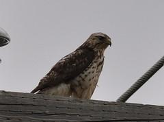 Swainsons Hawk (Juv)