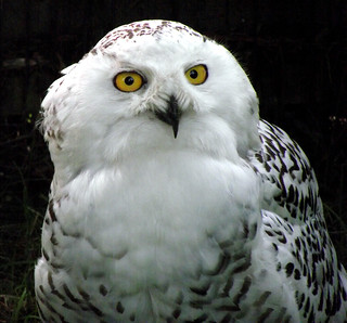 """Snowy The Owl"""