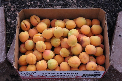 my own apricots
