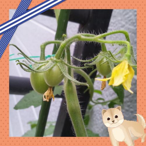 サントリーフラワーズ  本気野菜トマト ボンリッシュ 第二花房の実り