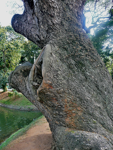 Tree on Kandy Lake
