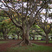 Lalbagh tree