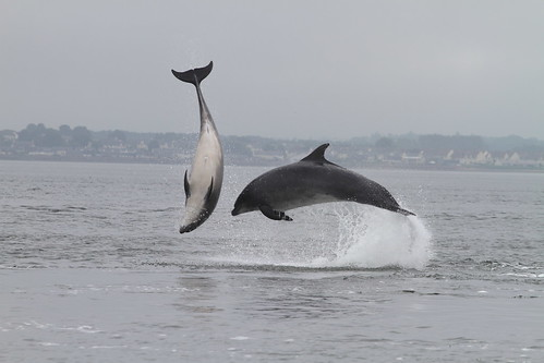 Bottlenose Dolphins, Moray Firth