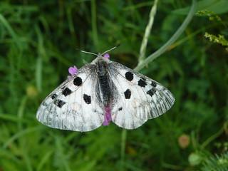 papillon blanc taches noires -2