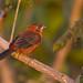 Red-crested Finch - Brazilian Birds - Species # 028 by Bertrando©